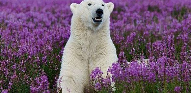 Urso polar não entende porque seu mundo branco se tornou repentinamente roxo - Reprodução/Mail Online