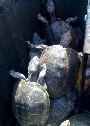 Cerca de 150 tartarugas invadiram uma das pistas de aterrissagem do aeroporto internacional John F. Keneddy de Nova York, atrasando vários voos