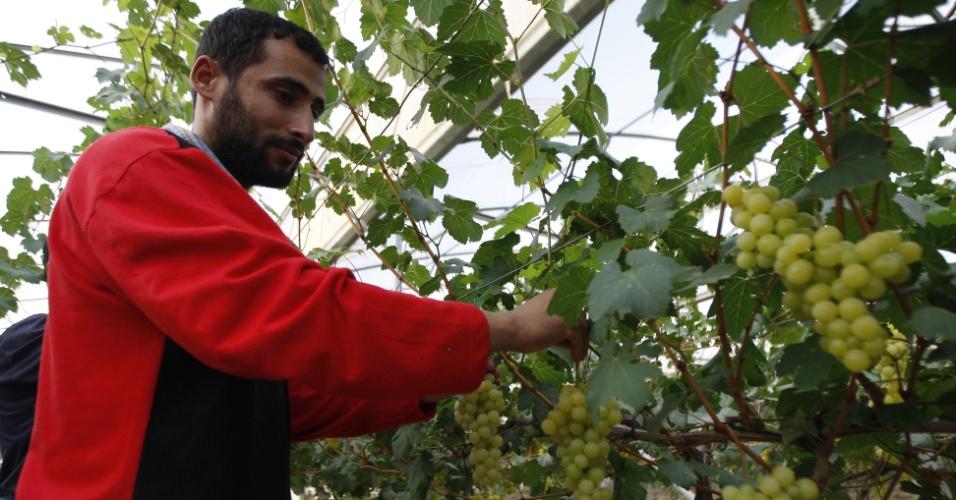 Fazendeiro palestino colhe uvas de uma plantação em antigo assentamento israelense na Faixa de Gaza
