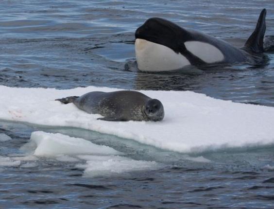 Grupo de orcas ataca foca