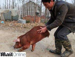 Porco virou atração no vilarejo onde vive