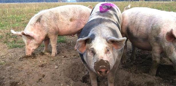 Esse pobre porquinho da foto já foi parar no prato de algum consumidor alemão