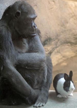 A gorilla Samantha, 47, tem com o coelho Panda - Erie Times-News, Greg Wohlford/AP