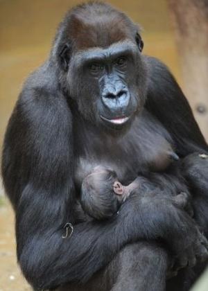 Gorila Melima segura seu bebê de 4 dias em zoo em Hanover, na Alemanha