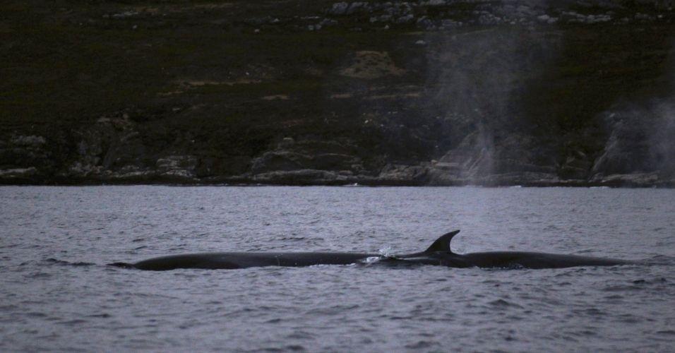 Baleia-glacial emerge na costa das Ilhas Malvinas