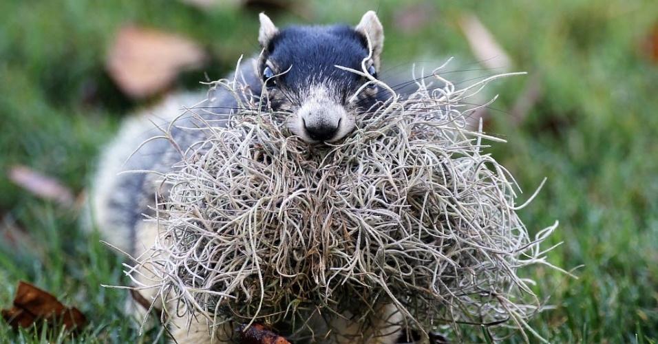 Esquilo come musgo durante campeonato de Golf realizado nesta quinta-feira (15), em Palm Harbor, na Florida