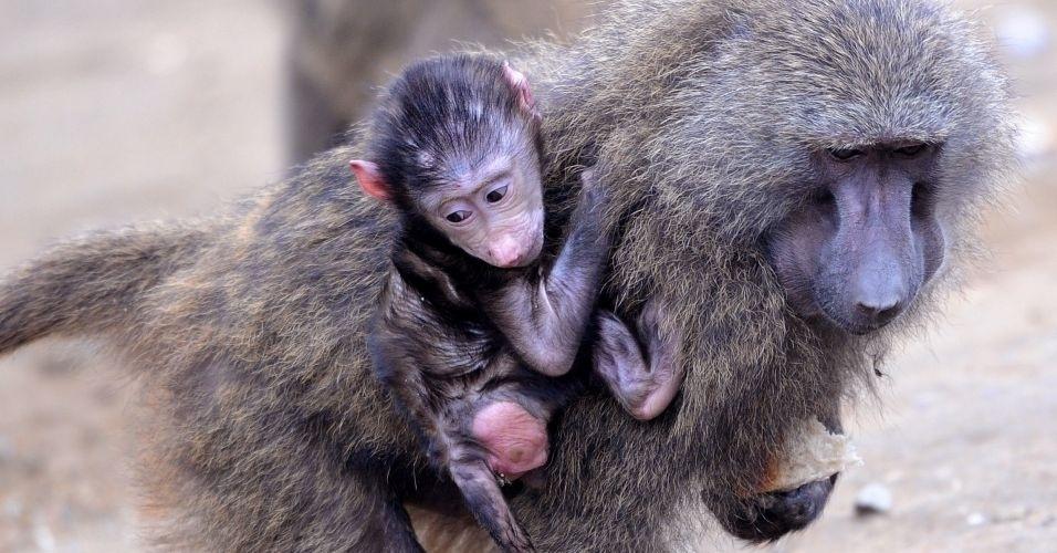 Filhote de babuíno anda abraçado em sua mãe, no zoológico Zoom, na Alemanha