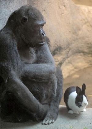 Gorila Samantha divide espaço com o coelho Panda no zoológico de Erie, na Pensilvânia (EUA)