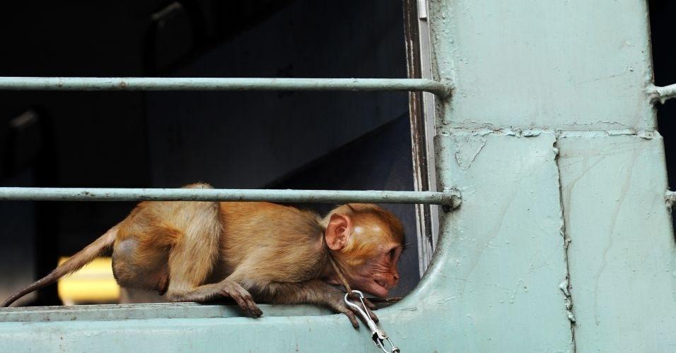 Macaco descansa em janela de trem, em Calcutá, na Índia
