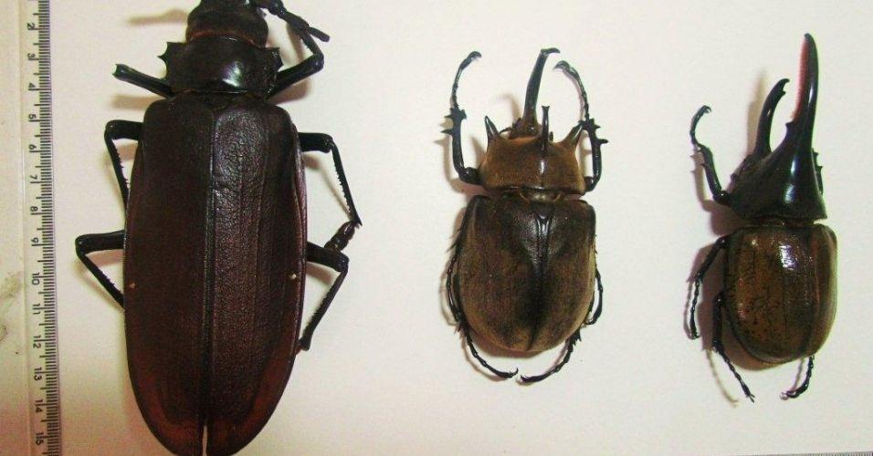 Museu do Instituto Biológico, em São Paulo, recebeu um novo integrante: o besouro-serrador
