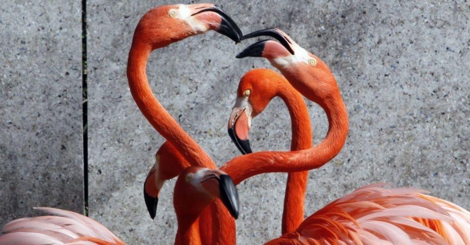 Par de flamingos caribenhos levanta pescoços durante ritual de acasalamento em zoo no Japão
