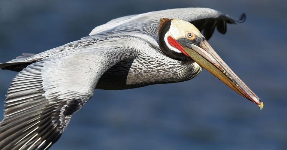 Pelicano marrom sobrevoa a costa de La Jolla, na Califórnia (EUA)