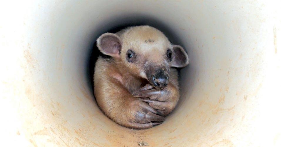 Tamanduá-mirim é encontrado dentro de cano de PVC para saída de água em residência de Jaraguá (GO)