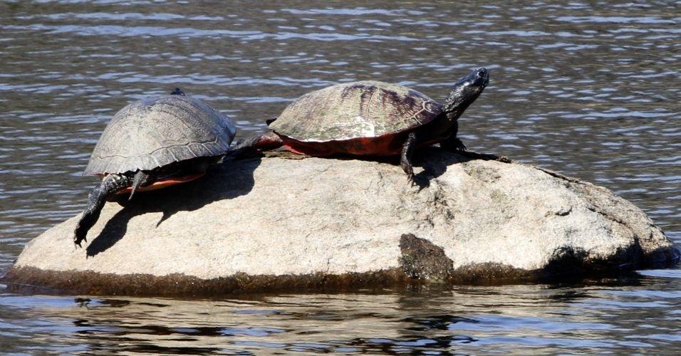 Tartarugas aproveitam sol em pedra de lagoa no parque Estadual Bellevue, nos EUA