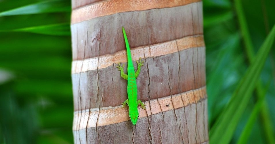 Gecko verde anda em uma palmeira na reserva natural Vallée de Mai, nas ilhas Seychelles, no oceano Índico