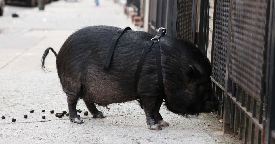 Porco de estimação é visto caminhando pelas ruas de Nova York, nos EUA, guiado por seu dono