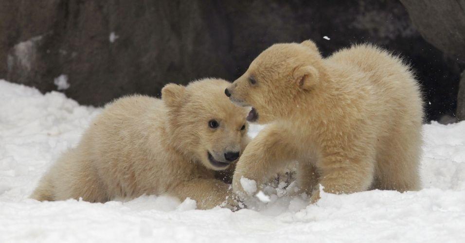 Ursos polares brincam na neve, no zoológico de Moscou, na Rússia