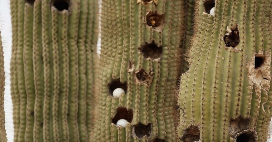 Bolas de golfe perfuram e se alojam em cactus presente no meio do campo em que é disputado a LPGA Founders Cup, em Phoenix (Arizona)