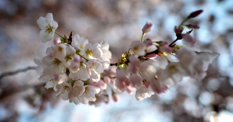 Flores de cerejeiras começam a desabrochar em Washington, nos Estados Unidos. Este ano fazem 100 anos que o Japão deu a flor de presente aos EUA