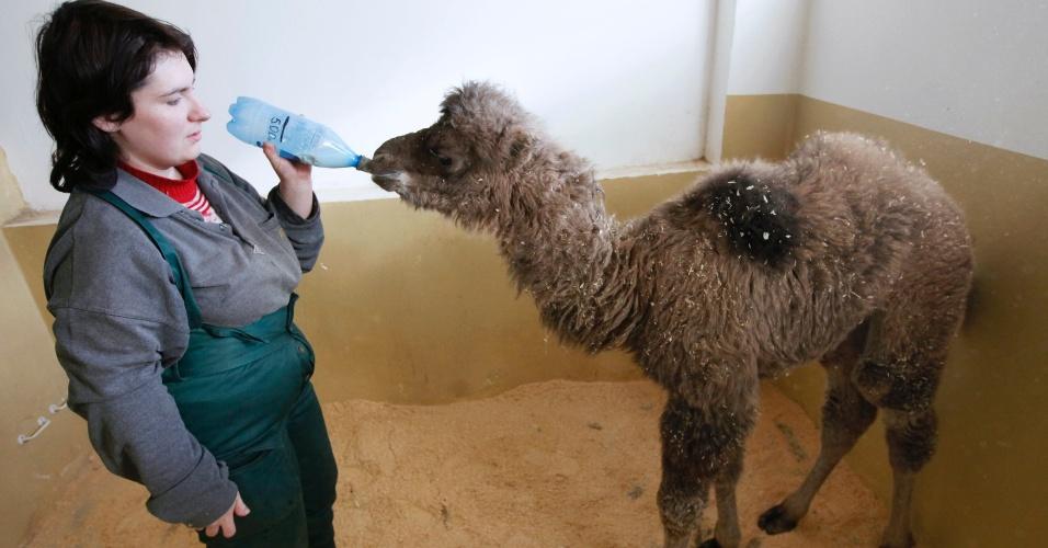 Funcionária do Zoológico Royev Ruchey, em Krasnoyarsk, na Rússia siberiana, alimenta filhote de camelo asiático de 4 semanas de idade