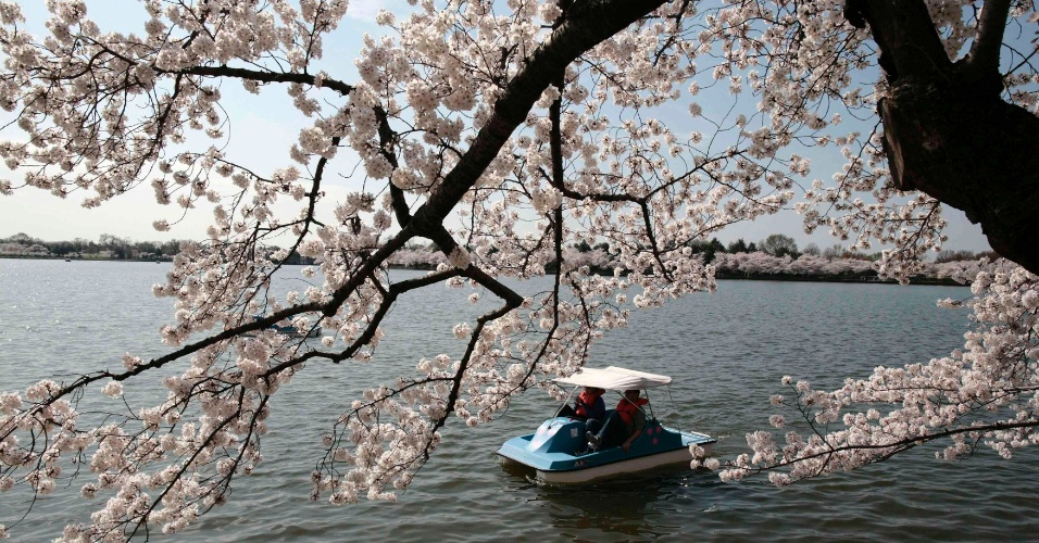 Pessoas aproveitam o sol e apreciam a beleza das flores de cerejeiras, que começam a desabrochar em Washington, nos Estados Unidos. Em 2012, faz 100 anos que o Japão deu a flor de presente aos EUA