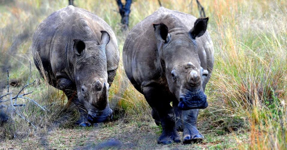 Rinocerontes brancos são fotografados em Limpopo, na África do Sul