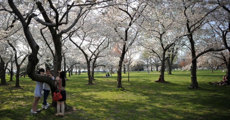 Turistas japoneses tiram fotos das flores de cerejeiras, que começam a desabrochar em Washington, nos Estados Unidos. Este ano fazem 100 anos que o Japão deu a flor de presente aos EUA