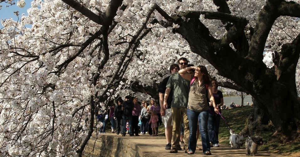 Visitantes caminham embaixo de cerejeiras floridas em Washington, nos EUA
