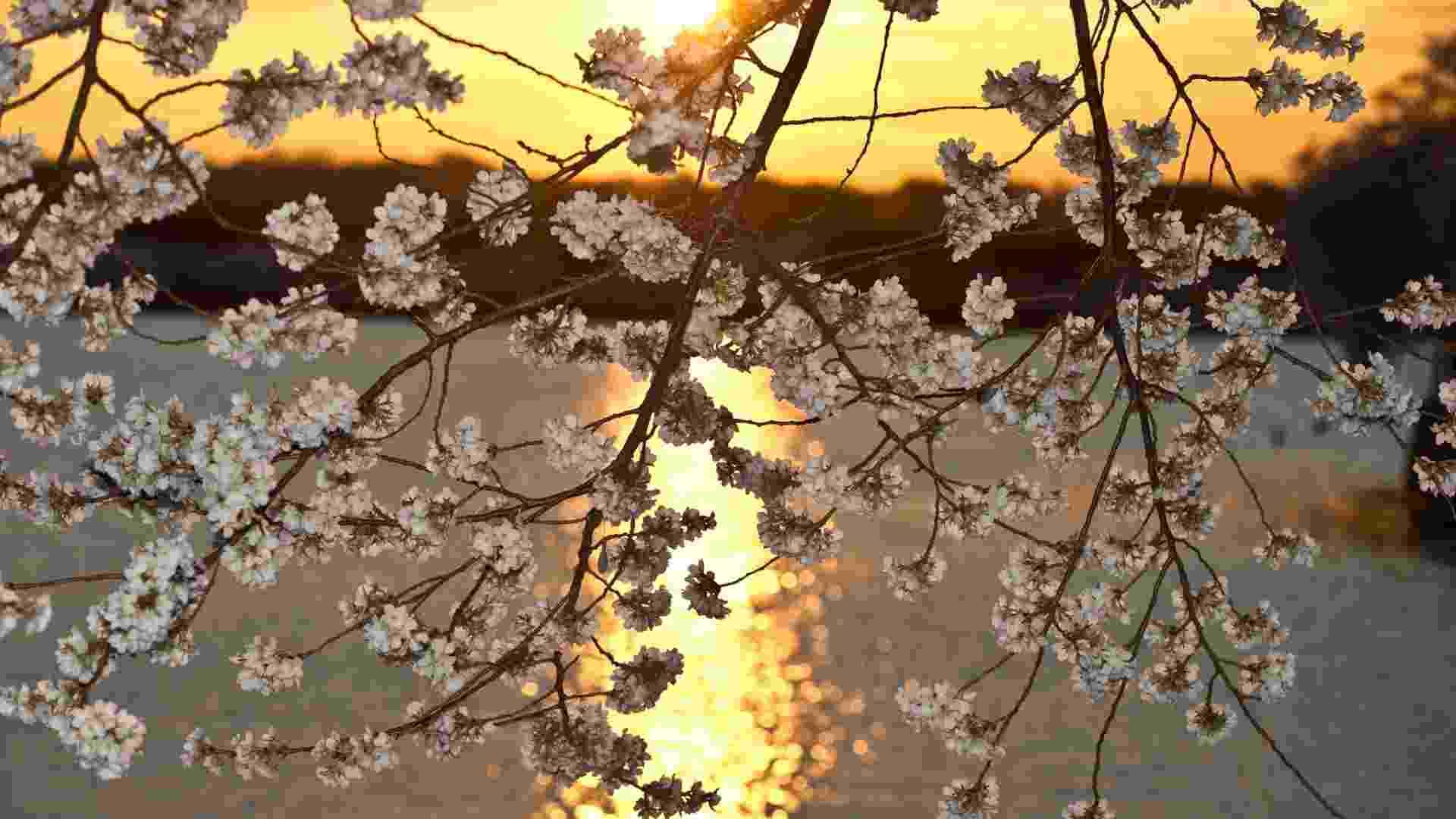 Flores de cerejeira cobrem o pôr-do-sol de Washington, nos EUA - Nicholas Kamm/AFP