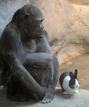 A gorila Samantha, 47, do zoológico de Erie, na Pensilvânia, Estados Unidos, elegeu como seu melhor amigo o coelho holandês Panda