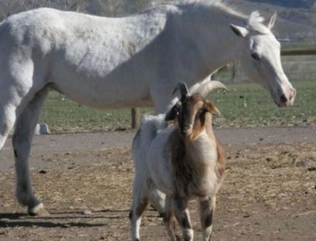 """Bonita história de amizade em uma fazenda nos EUA: uma égua cega recebe cuidados e """"escolta"""" de uma verdadeira gangue de animais, formada por cinco cabras e cinco ovelhas"""