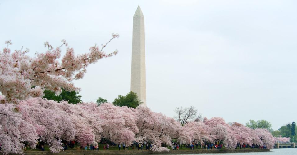 Cerejeira em plena floração enfeita paisagem em torno da Bacia das Marés, em Washington (EUA)