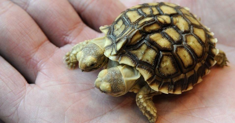 Em março de 2011, uma tartaruga africana com duas cabeças e cinco perninhas nasceu em Zilina, na Eslováquia. Ela, que na época tinha sete semanas de vida, foi batizada com dois nomes: Magda (a cabeça da esquerda) e Lenka (a cabeça da direita)