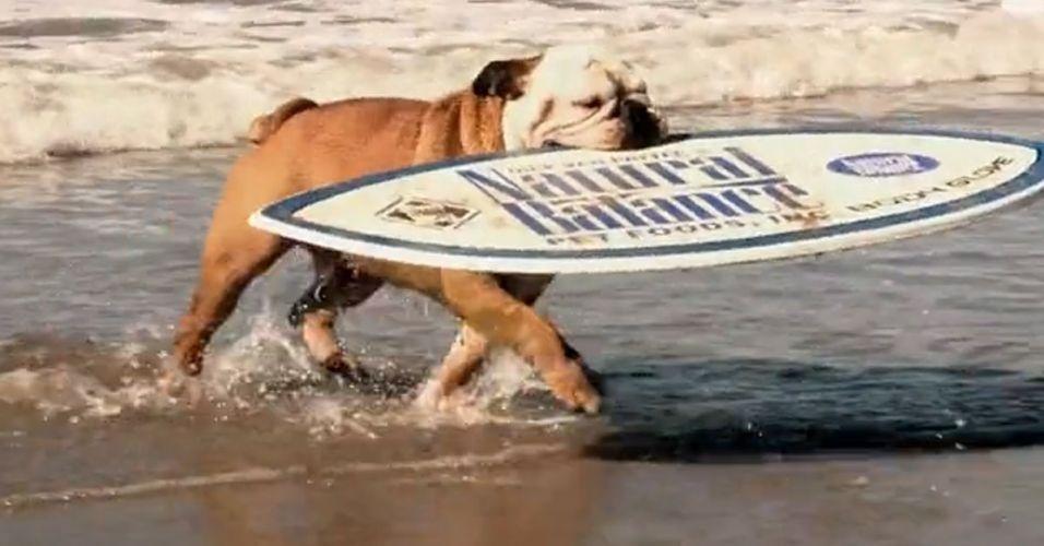 Em um vídeo na internet, um cachorro da raça bulldog surfa no mar, rodeado de outros cães, surfa na areia e ainda anda de skate numa pista profissional. É praticamente um rato de praia!