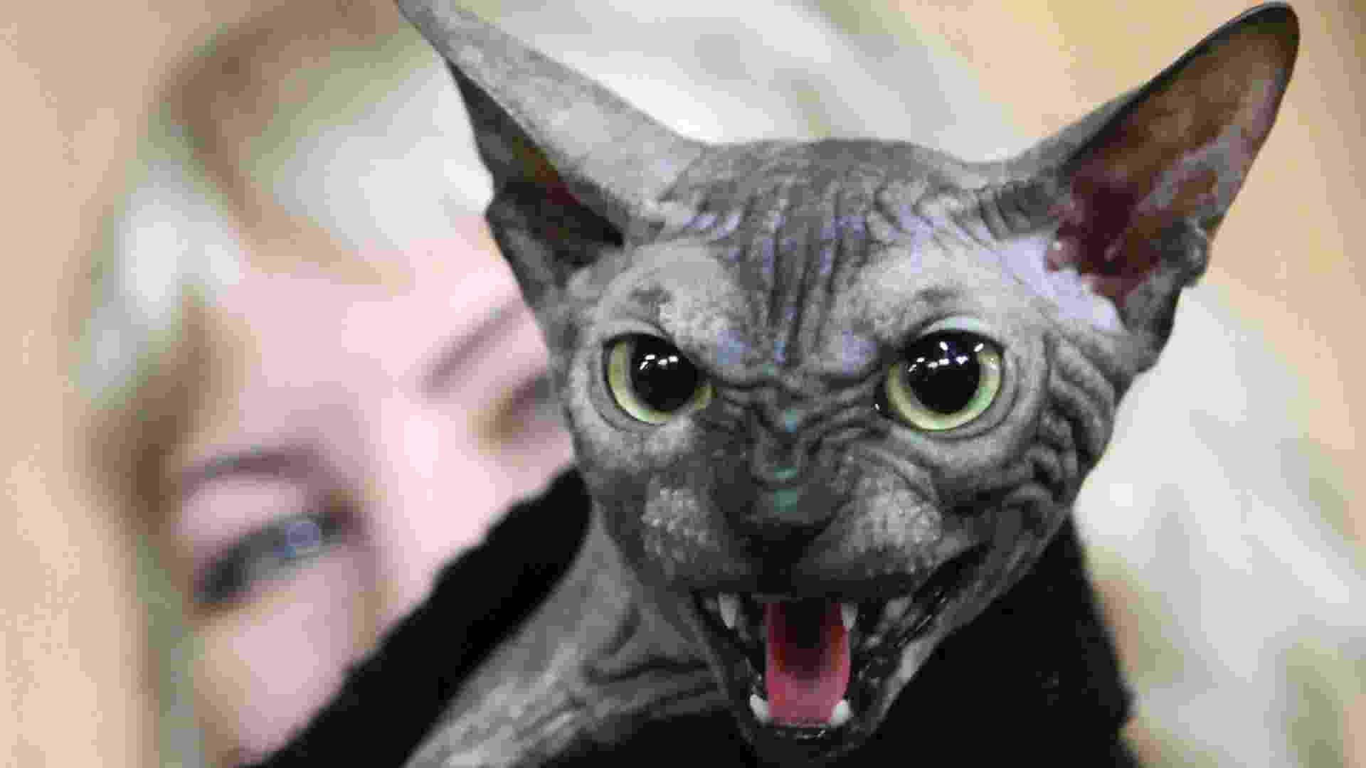 Gato com cara de mau rouba atenção em exposição de gatos no Quirguistão - Vladimir Pirogov/Reuters