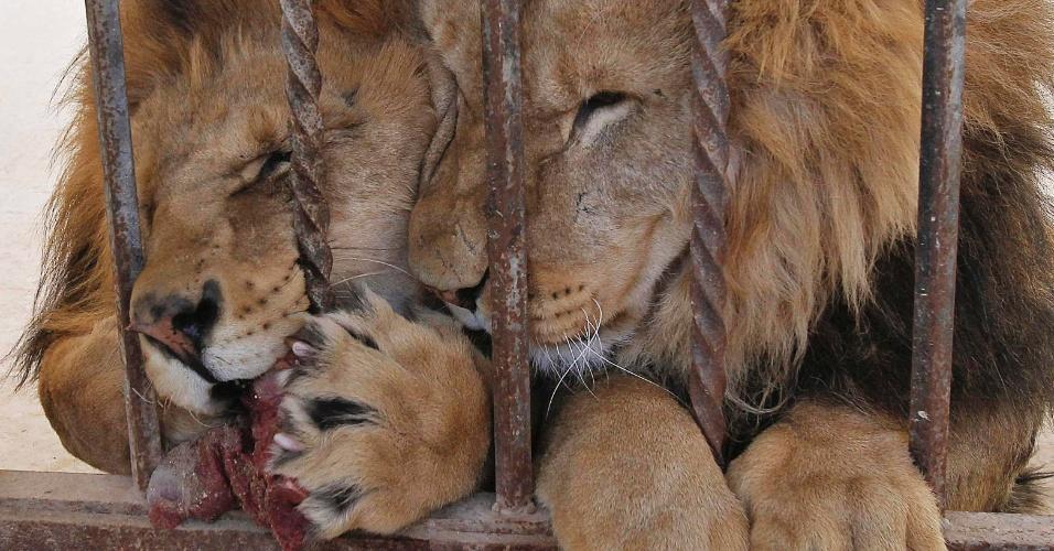 Leões se alimentam no zoológico de Yaduda, na Jordânia