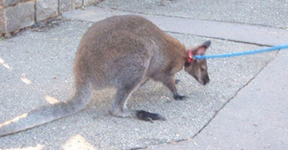 O canguru Benji, 2, fugiu de seu dono e passou a roubar lingeries pelas ruas de Praga, na República Tcheca. Para que será que ele queria as roupas??
