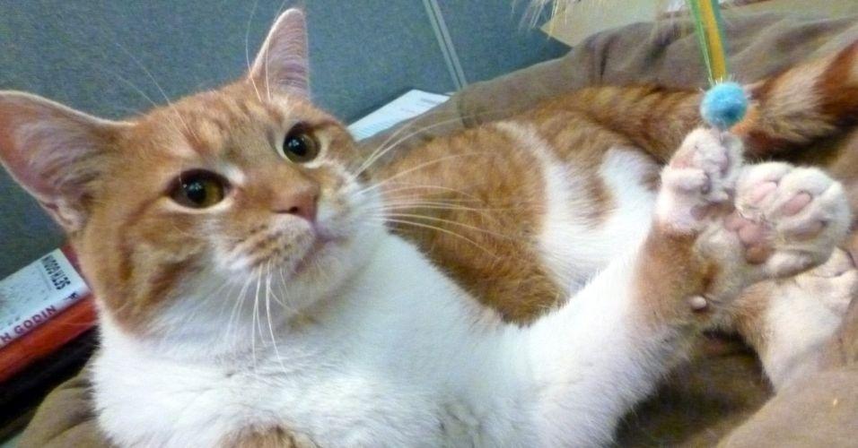 O gato Daniel nasceu com 26 dedos, enquanto, normalmente, bichanos tem 18 dedos - cinco nas patas da frente e quatro nas de trás. Ele vive em uma ONG que cuida de animais em Greendale, nos Estados Unidos, e é a estrela de uma campanha para arrecadação de fundos para a compra de uma nova sede para o abrigo
