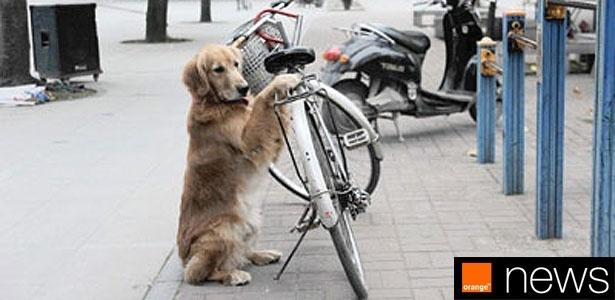 O golden retriever Li Li guarda a bicicleta de seu dono, o chinês Luo Wencong, todos os dias. O sujeito não precisa nem usar cadeado. Basta deixar a magrela encostada, que o cachorro fica lá, de olho. E ai de quem tentar roubá-la