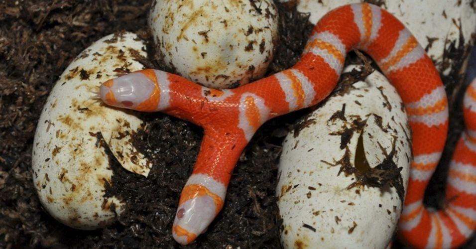 Quais as chances de uma cobra nascer albina e com duas cabeças? Bem, talvez 1 em 10 mil, mas aconteceu. Uma experiência na Flórida resultou na figura acima... Dá para acreditar?