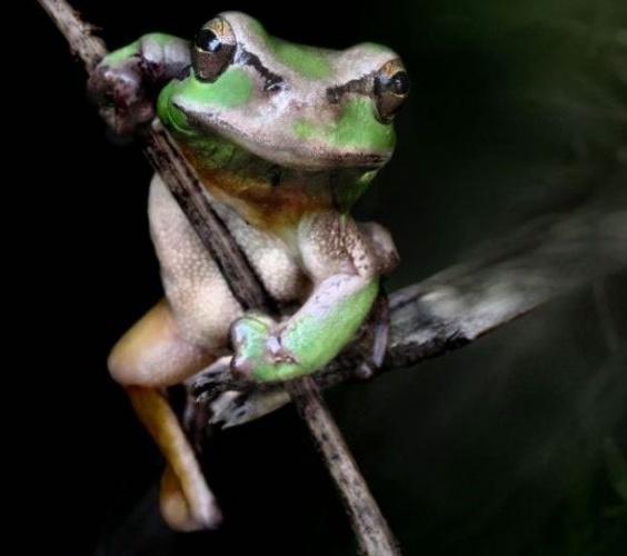 Sapo com síndrome de He-Man é flagrado inflando o peito e flexionando os músculos para tornear seu corpo no meio da floresta. Dizem as más línguas que ele gosta de falar para as pessoas que fica forte sem fazer esforço, assim como o personagem do desenho animado, mas, na verdade, ele se esconde na sombra das verdes folhas da selva para se exercitar