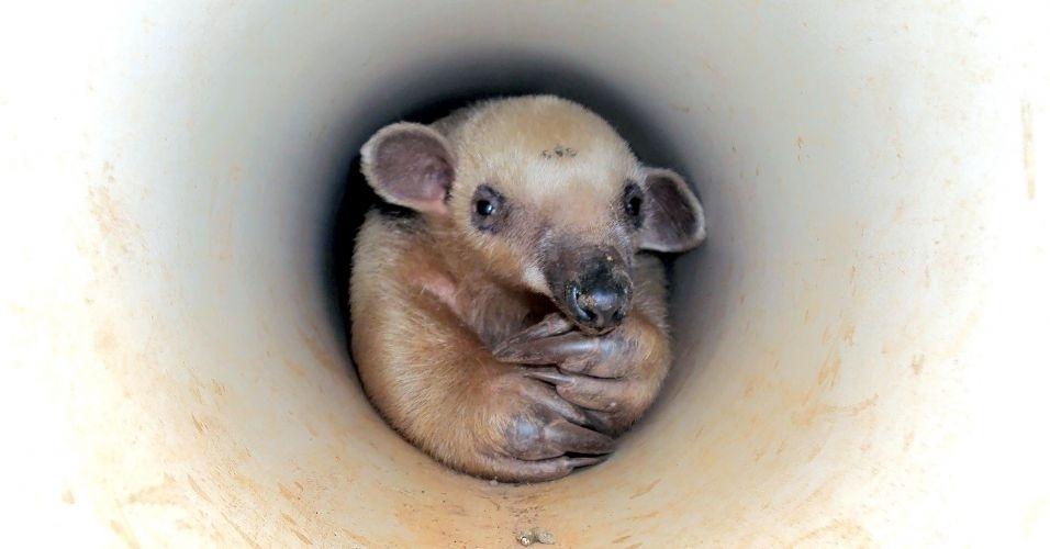 Tamanduá-mirim é encontrado dentro de cano de PVC da saída de água em residência de Jaraguá (GO)