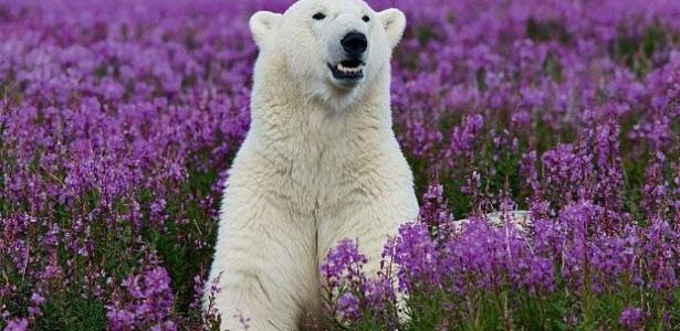 Um urso polar ficou um pouco confuso e desolado ao observar a vista do cenário à sua volta no Canadá. Isso porque o peludo branco está acostumado a viver em meio à neve e, de repente, tudo ficou roxo por causa das flores que nasceram. Ei, ursinho (ursinho?!), não chore, OK?