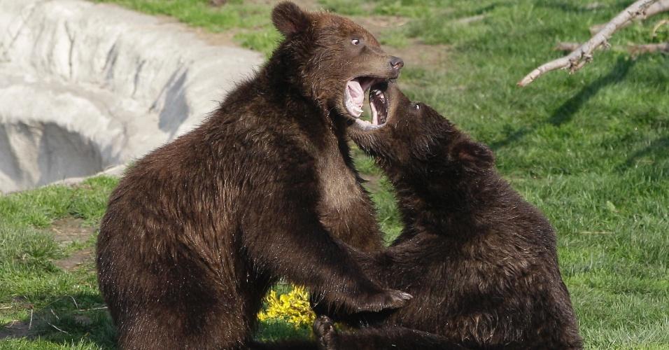 Ursos-pardos brincam em zoo em Michigan