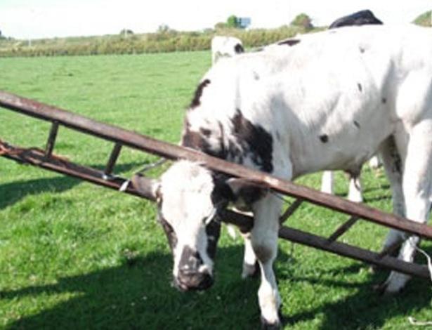 Vaca consegue prender a cabeça entre os degraus de uma escada, em pasto da Escócia (Reino Unido). Mas como ela fez isso, ou como a escada foi parar no pasto, ainda é um mistério...