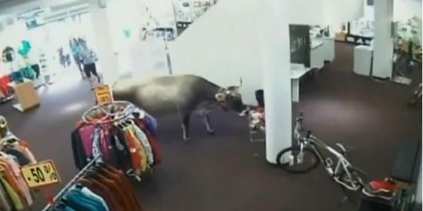 Vaca invade loja de esportes na Áustria, mas vai embora e deixa tudo intocado. Será que não tinha nada do tamanho dela?