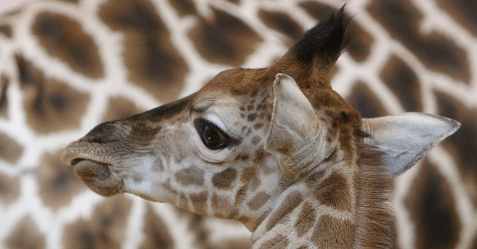 A filhote de girafa Apolena Saya é 'batizada' no zoológico de Praga, na República Tcheca