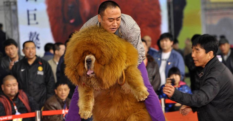 Esse cão, da raça mastim tibetano, resolveu fazer birra para seu dono e teve de ser carregado por ele para cima do palco para participar de um concurso de beleza em Shenyang, na província de Liaoning, na China. Pelo visto, o dono passou carão e vai botar o cãozinho de castigo. Quem sabe, de regime...