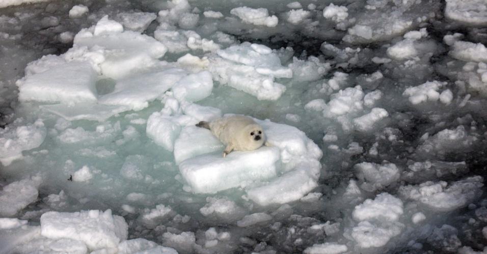 Filhote de foca descansa sobre bloco de gelo no golfo de St. Lawrence, no Canadá