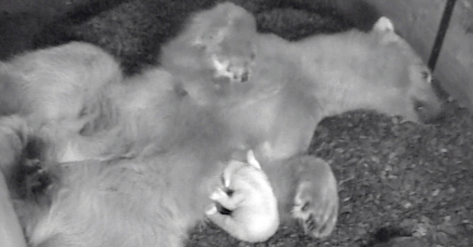 Foto em infravermelho mostra o pequeno urso polar Anori junto à sua mãe, Vilma, no zoológico de Wuppertal, na Alemanha